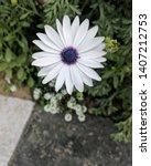 Cape Daisy In Full Bloom