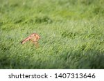 Stock photo wild hare beautiful close up in evening sun stunning detail of the brown hare lepus europaeus 1407313646