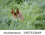 Stock photo wild hare beautiful close up in evening sun stunning detail of the brown hare lepus europaeus 1407313649