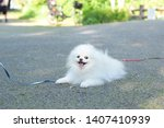 The White Cute Pomeranian With...