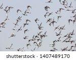 A Flock Of Black Tailed Godwit...