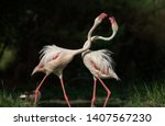 Greater Flamingo Fighting Over...