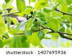 unripe apples growing on a tree | Shutterstock . vector #1407695936
