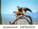 Harris hawks on branch in...