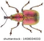 Rhynchites auratus is a genus...