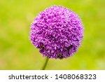 giant onion flower head on...