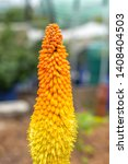 Close Up Of Red Hot Poker Plant ...