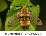 hemaris tityus | Shutterstock . vector #140843284