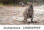 Feeding Wallabies In Tasmania ...