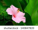 Vivid Pink Hibicus Is Blooming