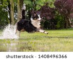 Stock photo australian shepherd dog playing on green grass at park happy wet aussie run on watery meadow after 1408496366