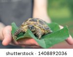 Stock photo the central asian tortoise also known as the asian brown tortoise sits on a leaf of burdock in 1408892036