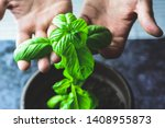 Male Hands Holding Leaves Of...