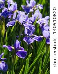 Purple Siberian Iris Flower...