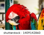 Red And Blue Macaw Is Sleeping