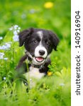 Border Collies Black Puppy