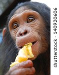 Young Chimpanzee Eats Orange