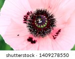 Red Poppy Bumblebee Close Up