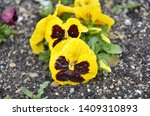 Yellow Pansies Flowers With...