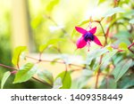 Fuchsia Magellanica Flower ...