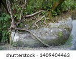 Exposed Tree Roots Wrapped...