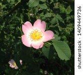 Stock photo macro photo nature blooming bud dog rose background of opened buds of wild rosa canina with rose 1409449736