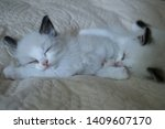 Stock photo two white cute little kittens sleeping on cream sheets ragdoll cat month old kitty 1409607170