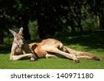 Red Kangaroo. Sort   Macropus...