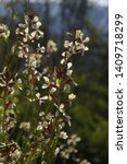 Small photo of Rocket salad flower, or green herb Eruca vesicaria
