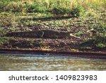 large wild crocodile lying on...   Shutterstock . vector #1409823983