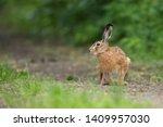 Stock photo european brown hare lepus europaeus 1409957030