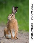 Stock photo european brown hare lepus europaeus 1409957069