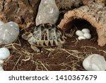 Stock photo spur thighed tortoise in vivarium 1410367679