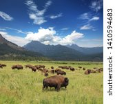 Bison Herd In The Yellowstone...