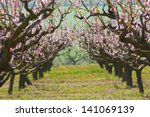 Peach Trees In A Row Blossoming ...