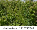 Invasive Weed Of Cleavers Or...