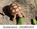 Stock photo close up baby african spurred tortoise resting in the garden slow life africa spurred tortoise 1410891419