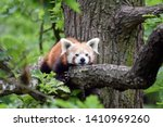 Red Panda Ailurus Fulgens Lying ...