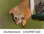 Red Squirrel Surprised To Eat...