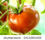 Two Tomatoes Growing On Plant ...