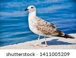 Stock photo young european herring gull larus argentatus with sea background at sunny beach bulgaria 1411005209