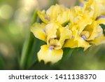 Beautiful Yellow Iris Flower  ...