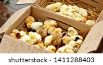 Yellow And Black Little Broiler ...