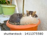Stock photo funny three kitten brothers sleeping in the plant s vase outdoor 1411375580