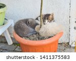 Stock photo funny three kitten brothers sleeping in the plant s vase outdoor 1411375583