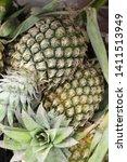 fresh pineapple in street food   Shutterstock . vector #1411513949