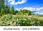 Summer Nature Meadow Flowers...