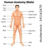 illustration of human body parts   Shutterstock .eps vector #141162670