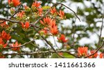 Indian Coral Tree  Erythrina...