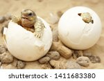 Stock photo africa spurred tortoise are born naturally tortoise hatching from egg cute portrait of baby 1411683380
